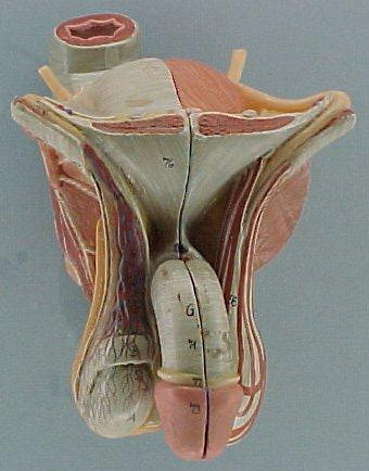 Anatomical model of the male genitalia, with no skin of any kind