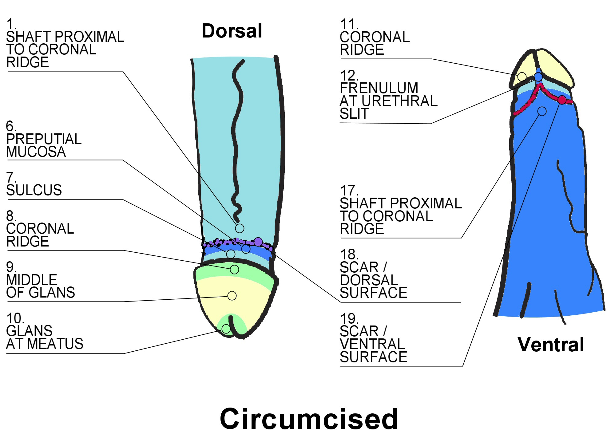 Male masturbation technique coronal ridge